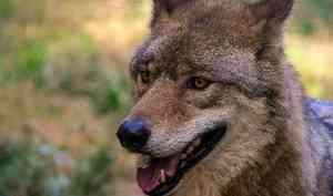 Волки атакуют населенные пункты в Архангельской области