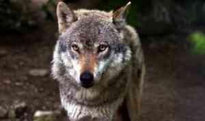В Каргопольском районе за неделю волки дважды нападали на местных жителей