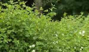 Выпускники северодвинского филиала САФУ каждый год дополняют университетскую аллею новыми деревьями