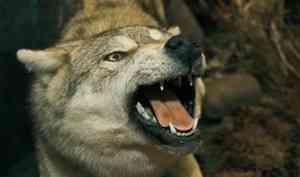 В Каргопольском районе проведут санитарный отстрел волков