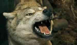 В Каргопольском районе проведут санитарный отстрел волков после двух нападений на людей