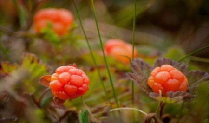 Сбор лесных ягод едва не стоил пенсионерке жизни: помогли архангельские спасатели