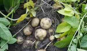 Как спасти урожай картофеля отфитофтороза?