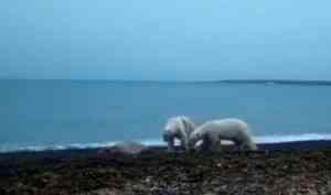 ВАрктике два белых медведя поссорились из-за добычи