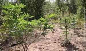 45 кустов конопли обнаружили полицейские при обыске охраняемой территории вСоломбале