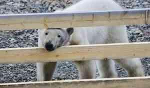 На островах «Русской Арктики» снимают документальный фильм о белых медведях