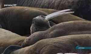 Участники экспедиции в Арктику предположили, что белые медведи присматриваются к моржам