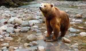 Медведь может вернуться в Маймаксанский округ Архангельска