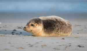 Проект помощи тюленям Белого моря нуждается в поддержке жителей Поморья