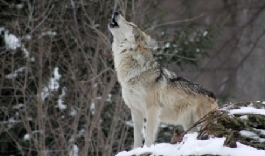Жители посёлка Зеленник пожаловилсь на нападения волков