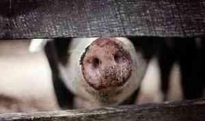 ВВельском районе отменили карантин поафриканской чуме свиней
