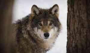 В Архангельской области разрешили охотиться на волков до конца февраля