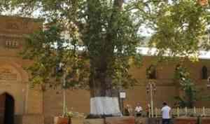 Северян приглашают поддержать уникальное 284-летнее российское дерево на международном конкурсе