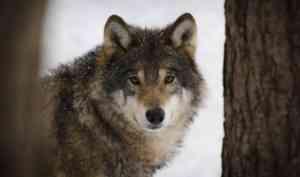 С начала года в Приморском районе убили 13 волков