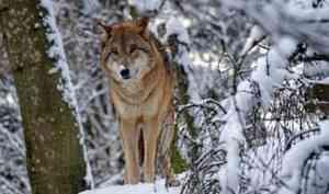 Более 370 волков добыли охотники Архангельской области в этом сезоне