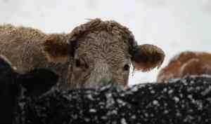 Видео: под Вологдой перевернулся грузовик с коровами