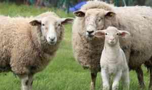 Компания хозяина застрявших натаможне впорту «Экономия» овец стала резидентом АЗРФ отАрхангельской области