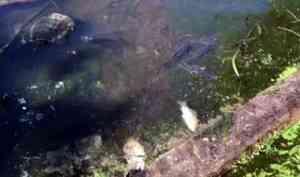 Жаркая погода: установлена причина массовой гибели рыбы в архангельском озере