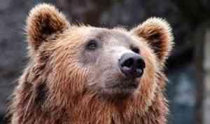 Дикий медведь держит в страхе жителей поселка Талаги под Архангельском