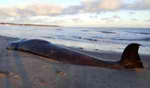 На берег Белого моря выбросило кита