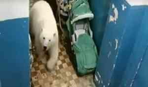 На новой Земле нашествие медведей – введён режим ЧС
