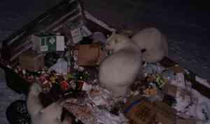 На Новую Землю прибыли эксперты, которые разберутся с нашествием белых медведей в населенных пункты