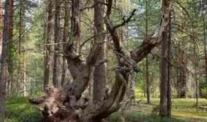 Северный лес: кормилец, убежище, дары смерти