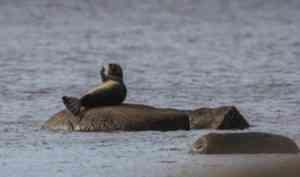 Спасатели Архангельской области предупреждают: не кормите тюленей!